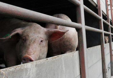 Заболяването Африканска чума по свинете